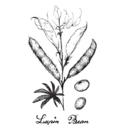 Origin of Lupini beans