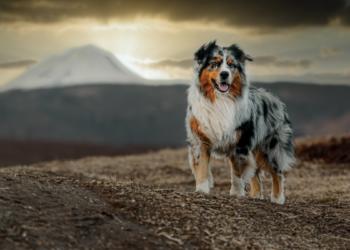 A Beginner's Guide to the Australian Shepherd Dog Breed