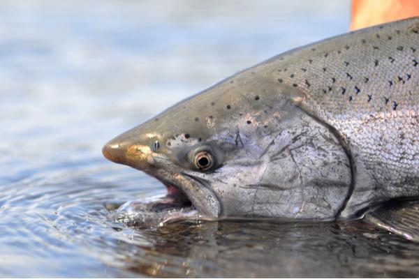 King/Chinook Salmon