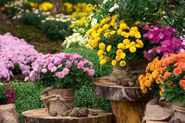 How to Prepare Chrysanthemum Tea and Enjoy Its Benefits